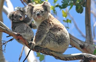 Ausztrália Kompok